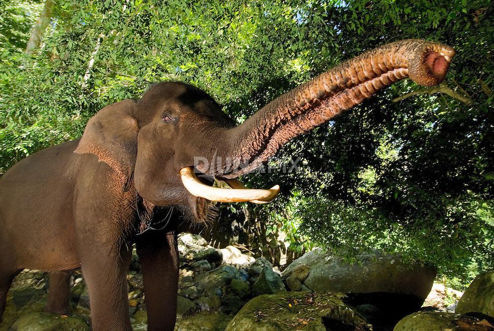 A male Sumatran elephant (Elephas maximus sumatranus) extends its long trunk to camera.