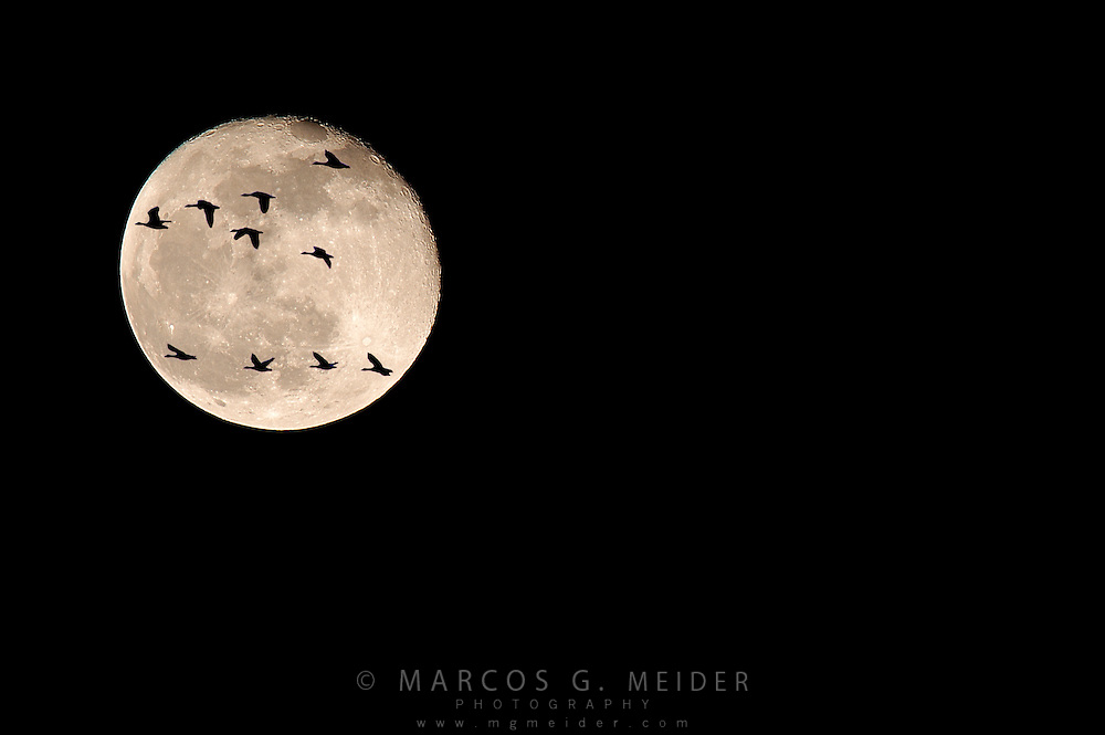 EN. Flock of Greylag Geese (Anser anser) migrating at night during full moon. Digital composite.<br /> ES. Bando de &aacute;nsares comunes (Anser anser) en migraci&oacute;n nocturna con luna llena.<br /> Composici&oacute;n digital.