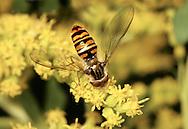 Parasyrphus annulatus