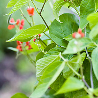 The red flowers of Scarlet runner beans (Phaseolus)