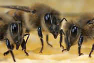DEU, Deutschland: Biene, Honigbiene (Apis mellifera), drei Arbeitsbienen auf ihrer Wabe, Bienenstation an der Bayerischen Julius-Maximilians-Universität Würzburg  | DEU, Germany: Bee, Honey-bee (Apis mellifera), three worker bees on a honeycomb, Beestation at the Bavarian Julius-Maximilians-University Würzburg