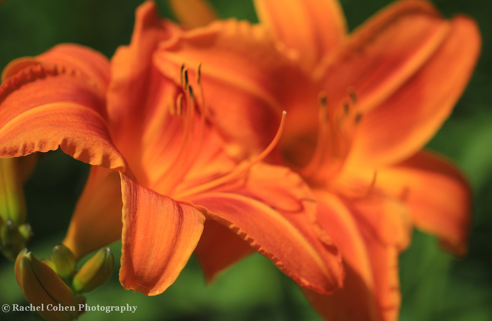 &quot;Summer Tiger Lily&quot;<br />