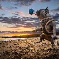 Boo the Pug playing with her squeaky toy at sunset on Hove beach. Highlights of images of dogs in the outdoors, by specialist dog photographer Rhian White.