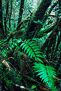Puerto Rico, El Yunque, Caribbean National Forest, dwarf forest & mist, Puerto Rico's tropical rainforest
