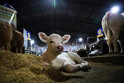 Terneiro na 38ª Expointer, que ocorrerá entre 29 de agosto e 06 de setembro de 2015 no Parque de Exposições Assis Brasil, em Esteio. FOTO:Pedro H. Tesch/ Agência Preview