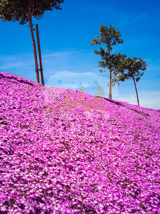 A beautiful, pink carpet of flowers as seen in the strong  midday sunlight in Valencia, Spain.
