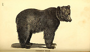 Bear from General zoology, or, Systematic natural history Part I, by Shaw, George, 1751-1813; Stephens, James Francis, 1792-1853; Heath, Charles, 1785-1848, engraver; Griffith, Mrs., engraver; Chappelow. Copperplate Printed in London in 1800. Probably the artists never saw a live specimen