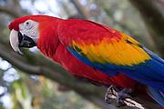 Scarlet Macaw, Ara macao