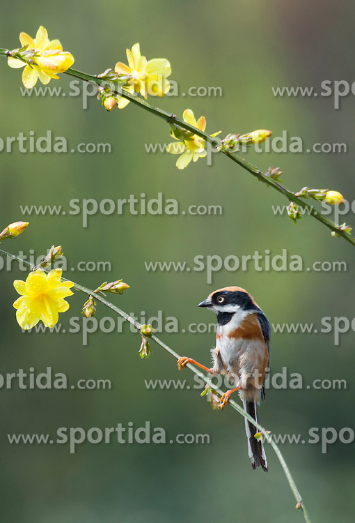 A bird rests on the branch of a winter jasmine tree in Wuxi City, east China's Jiangsu Province, March 17, 2016. EXPA Pictures &copy; 2016, PhotoCredit: EXPA/ Photoshot/ Pan Zhengguang<br /> <br /> *****ATTENTION - for AUT, SLO, CRO, SRB, BIH, MAZ, SUI only*****