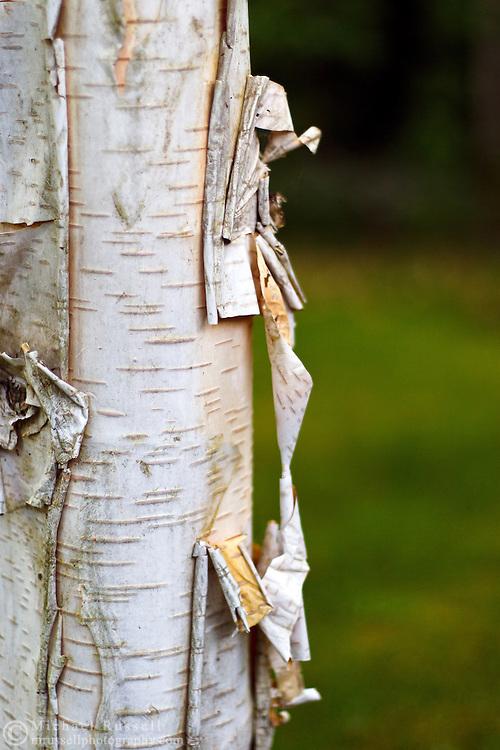 Peeling Himalayan Birch Bark (Betula utilis)