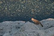 Puma (Felis concolor patagonica) cub<br /> Lago Sarmiento<br /> Torres del Paine National Park<br /> Patagonia<br /> Magellanic region of Southern Chile<br /> Lago Sarmiento<br /> Torres del Paine National Park<br /> Patagonia<br /> Magellanic region of Southern Chile