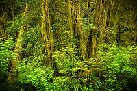 Intimate landscape of moss covered vine maple trees in the lush Quinault Rainforest, Olympic National Park, Washington