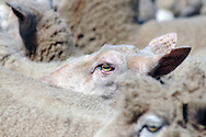 A sheep's eye stands out from the herd.