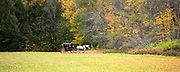 Traditional horse and carriage ride for Fall peeping tourists to see Fall foliage colors at Stowe in Vermont, New England, USA