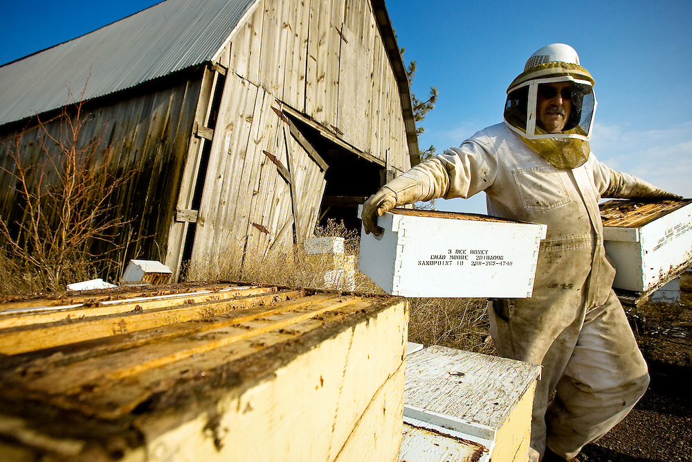 JEROME A. POLLOS/Press..Dave Landry, a beekeeper in training with 3 Bee Honey, reorganizes hives Monday south of Rathdrum in preparation for winter.