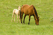 Quarter Horses, buckskin mare with foal<br />