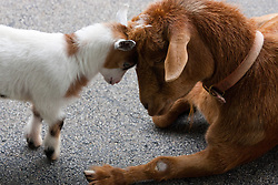 11 July 2010: A young goat playfully butts heads with an older goat.  Miller Park Zoo, Bloomington Illinois (Photo by Alan Look)