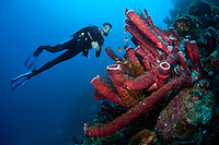 Diver and Pipe Sponges<br /> <br /> shot in Indonesia