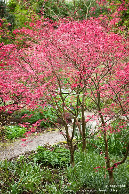 Young emerging spring foliage of Acer palmatum 'Corallinum'  AGM at Bosvigo Gardens, Cornwall.