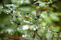Image of fresh raindrops on ripe huckleberries at Mt. Rainier National Park, WA.