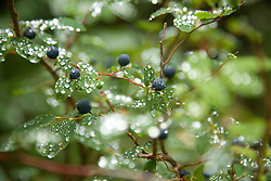 Image of fresh raindrops on ripe huckleberries at Mt. Rainier National Park, WA.