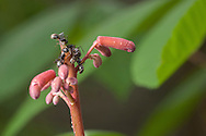 Black carpenter ants (Camponotus pennsylvanicus) on an unopened red buckeye flower (Aesculus pavia) - Elliott, Mississippi