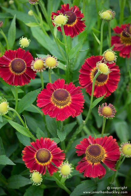 Helenium autumnale 'Salsa' (Mariachi Series).<br /> Sneezeweed