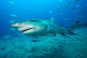 A Lemon Shark, Negaprion brevirostris, a protected species in Florida state waters, swims offshore Jupiter, Palm Beach County, Florida, United States, during a shark dive in Federal waters May 20, 2015. This specimen has been disfigured by fishing tackle.