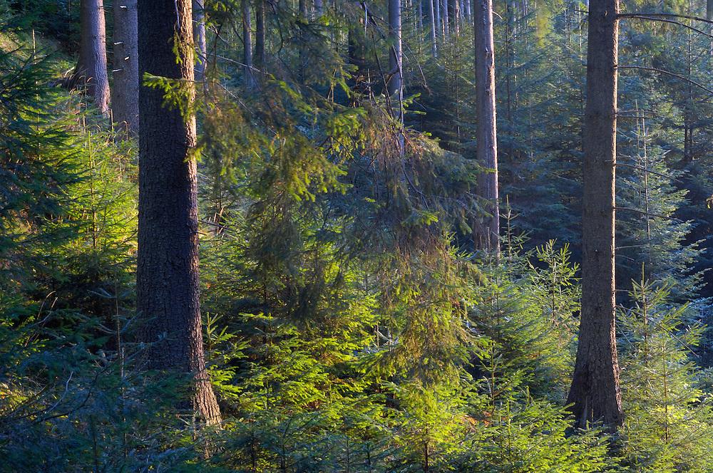 Spruce forest , Cheile Bicazului-Hasmas National Park, Carpathians, Transylvania, Romania,