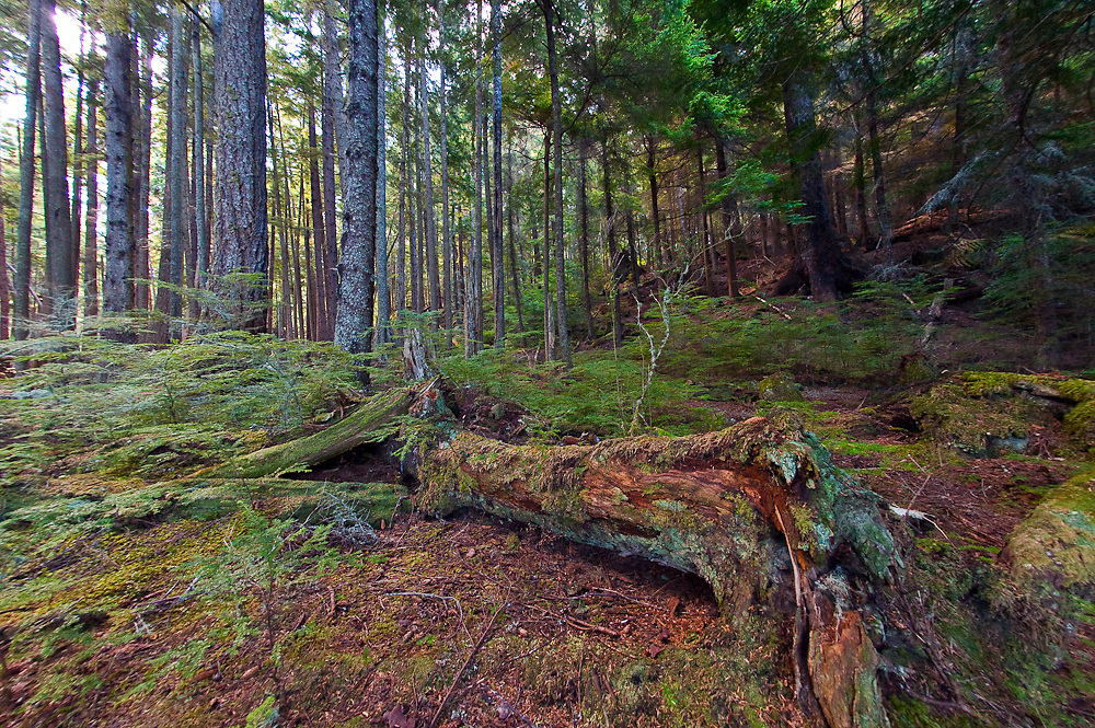 Second generation logged forest on Hanson island near Alert Bay, British Columbia, Canada