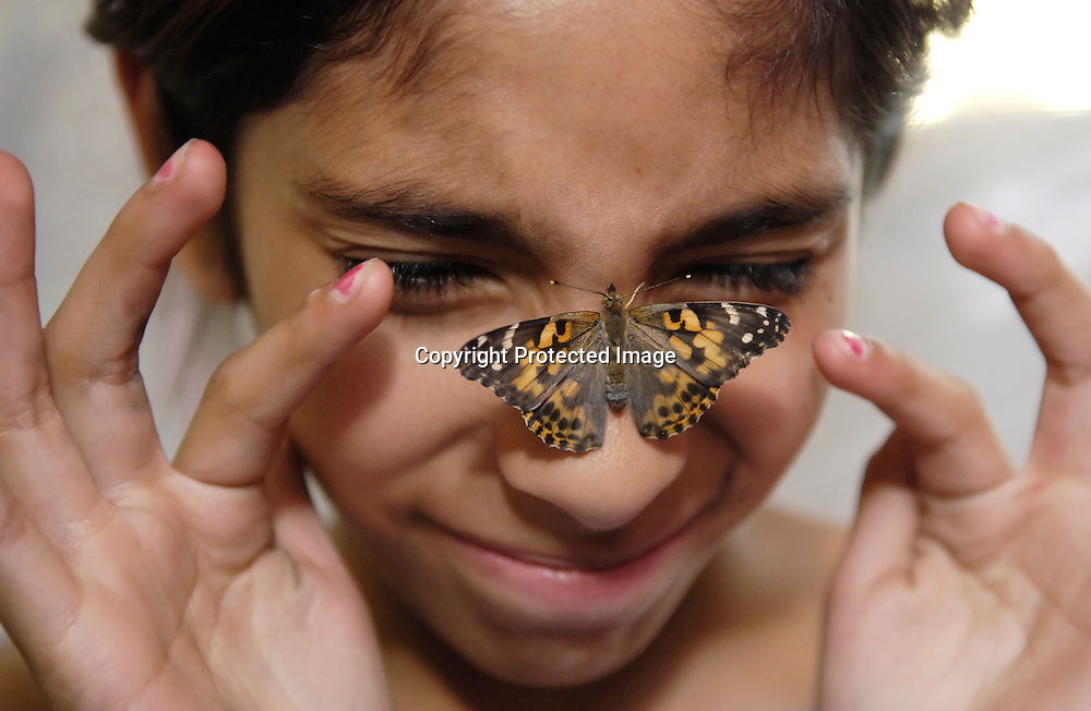 Photo by Laura Stoecker <br /> West Aurora Community Science NIght at West Aurora High School-Ana Magana, 10, (of Smith Elementary) gets a bit squeamish when the Painted Lady butterfly she placed on her nose moves around and tickles her.  2nd graders from Nancy Hill Elementary in Aurora raised around 100 butterflies from their early caterpillar days to their transformation, studying them for 21 days.