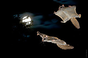 VALENTINE (NIGHT) IN THE FROZEN NORTH | Courting flying squirrels (Glaucomys sabrinus) chase each other on a February's full moon in the northern Blackfoot forest.<br /> <br /> 2:30AM, -35F...<br /> <br /> See &quot;Cirque de la Lune&quot; in PhotoStories
