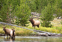 A Bull Elk with two cow elk along a riverside feed and wade in the water just before sunset.