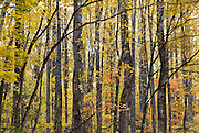 A pattern of poplar tree trunks and yellow leaves in autumn. Little River Road on the Tennessee side of Great Smoky Mountains National Park, in southeastern USA.