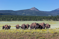 American bison herd walking in line across meadow beneath Ash Mountain, Vermejo Park Ranch, New Mexico, USA.