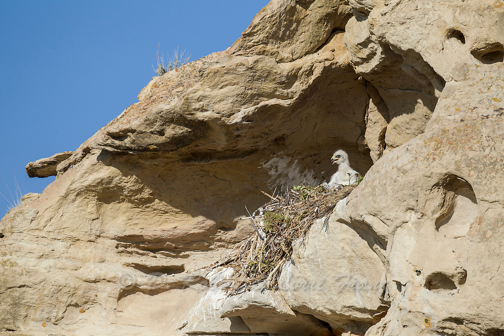 Golden eagle chick at nest in Wyoming
