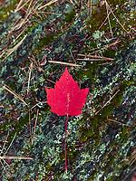 http://Duncan.co/red-maple-leaf-on-bark