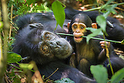 Chimpanzee<br /> Pan troglodytes<br /> Mother and 4 month old infant<br /> Tropical forest, Western Uganda