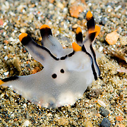 Thecacera Picta nudibranch in Lembeh Straits, Indonesia.