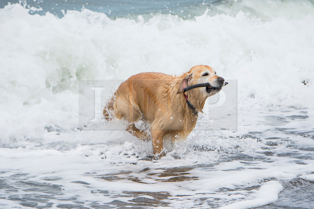 © London News Pictures. 14/04/2017 Aberystwyth, UK.<br /> A dog playing in the sea on the seafront on a dreary, cold grey and damp Good Friday morning in Aberystwyth on the Cardigan Bay coast of west Wales UK at the start of the Easter Bank Holiday weekend. Photo credit: Keith Morris/LNP