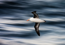 Campbell Albatross (Thalassarche impavida) near Campbell Islands south of New Zealand