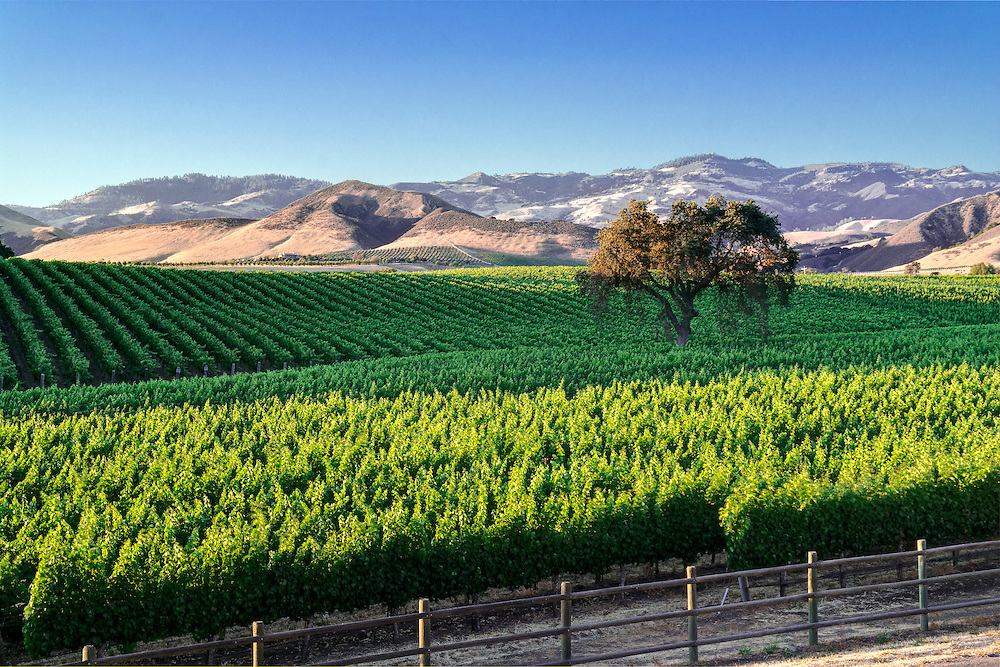 Photo of vineyard lit by warm late afternoon sunlight with lone oak tree in middle. Vineyard is located in  Santa Ynez Valley, CA near Santa Barbara.