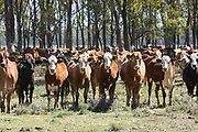 herd of mixed beef cattle at Whetstone, Queensland, Australia