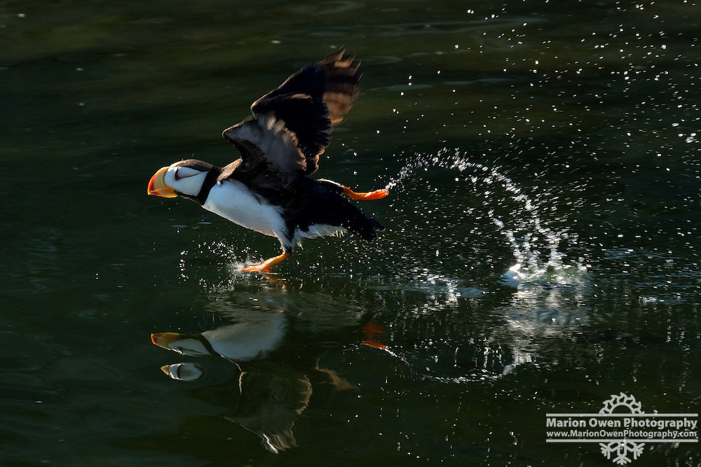 Horned puffin taking off leaving rooster tail