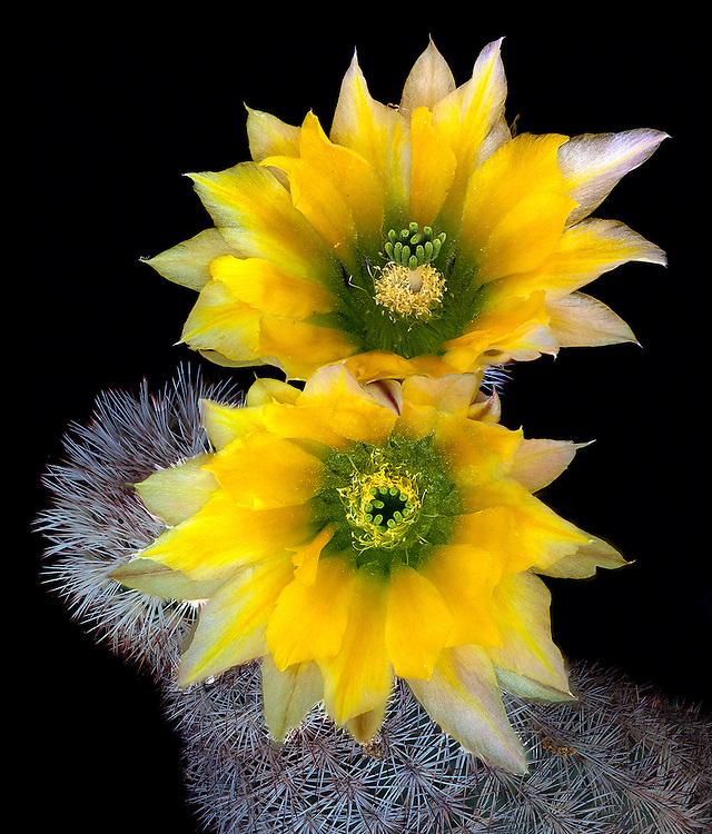 Texas Rainbow cactus (Echinocereus dasyacanthus) / #CAC007