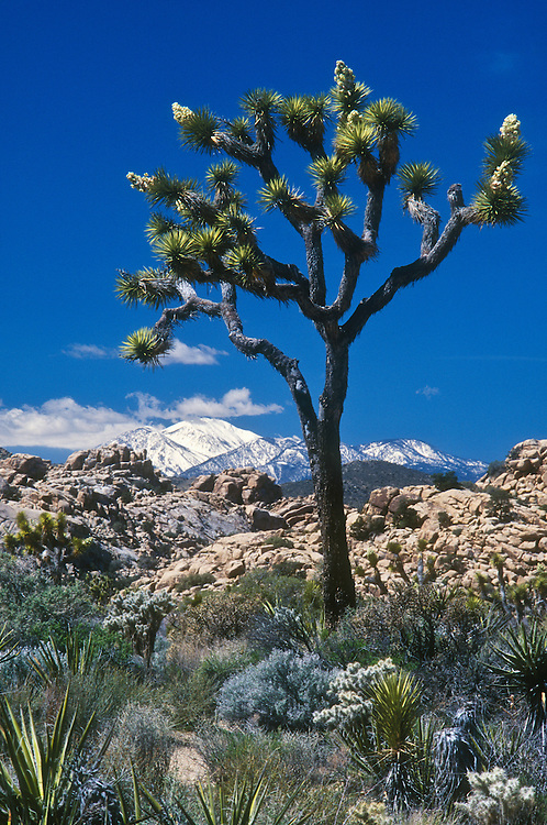 Joshua Tree with snow-capped San Gorgonio Mountain in distance; Joshua Tree National Park, Mojave Desert, California..