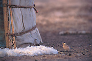 Henderson's ground jay<br /> (Podoces henderson)<br /> At doorway of ger eating crumbs<br /> Gobi Desert<br /> Mongolia