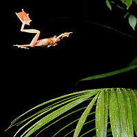The enlarged webbed feet of the Harlequin Tree Frog (Rhacophorus pardalis) enable it to maneuver in mid-air and slow its descent from a higher perch towards a safe landing. Sarawak, Malaysia.