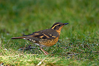 Varied Thrush (Ixoreus naevius), Nanaimo, British Columbia, Canada   Photo: Peter Llewellyn