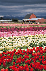 North America, United States, Washington, Mt. Vernon, tulip fields in bloom and erd barn at annual Skagit Valley Tulip Festival, held in April